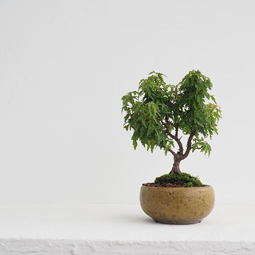 小さな盆栽づくり#8